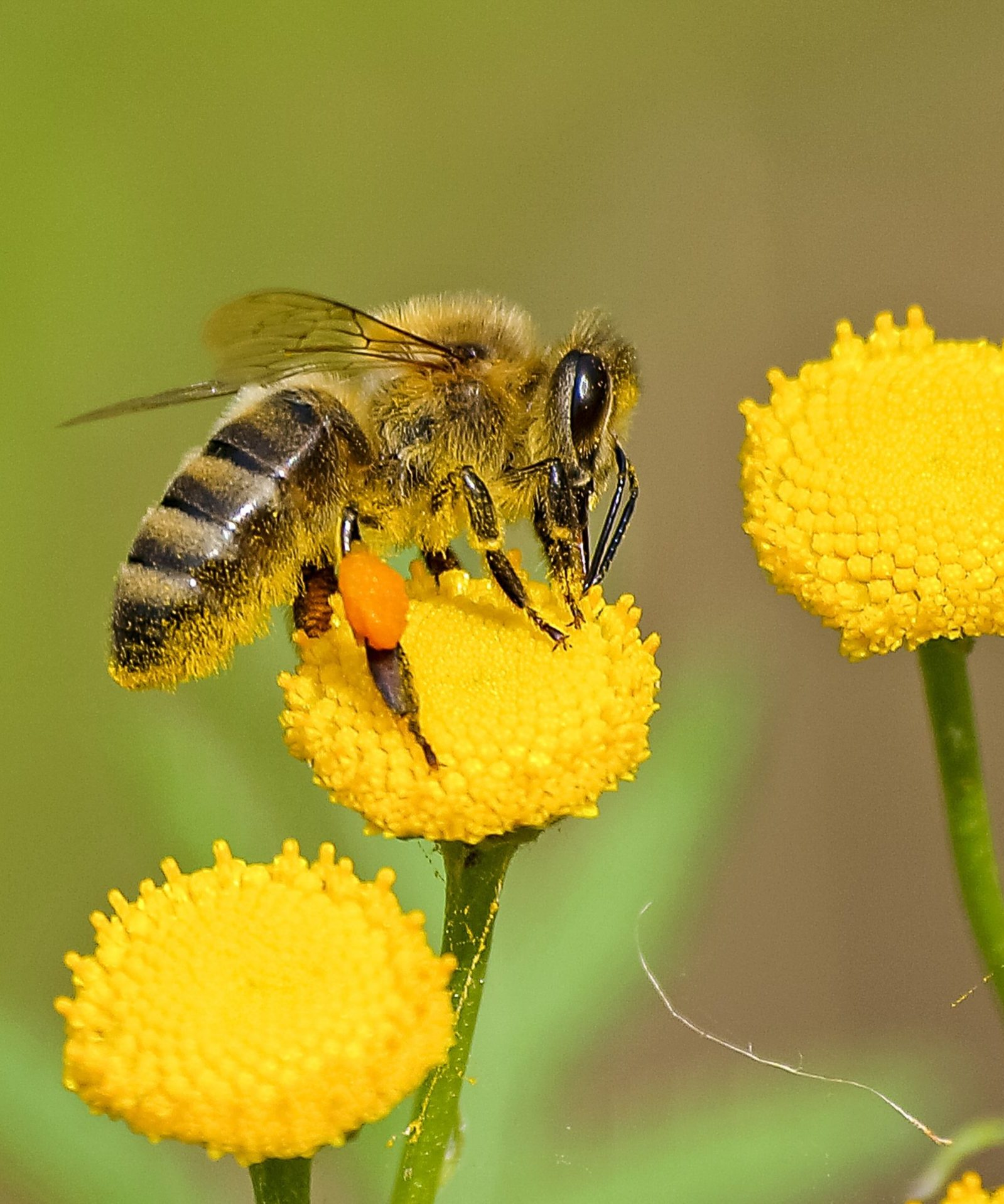 A bee feeds on a small yellow flower in the sun
