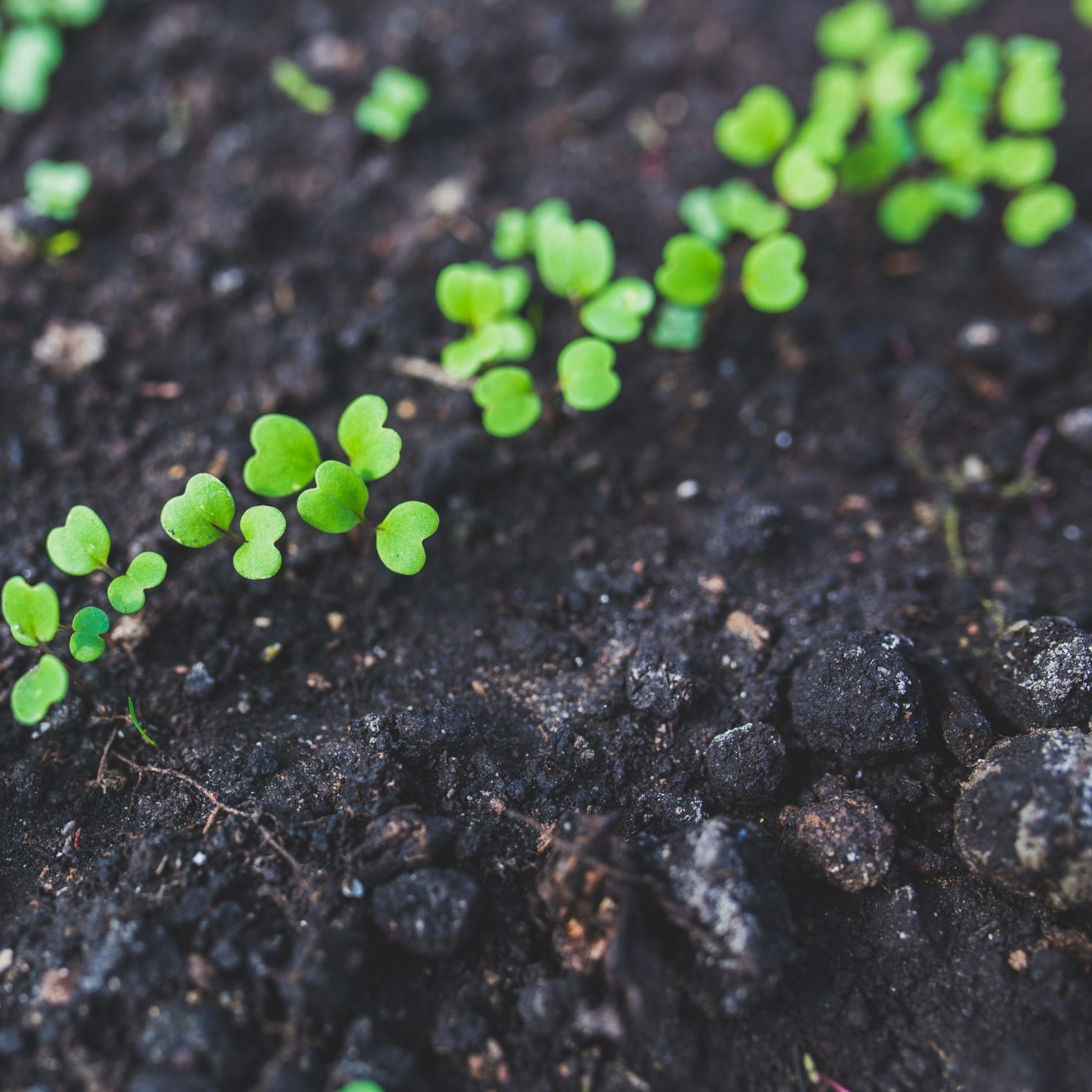 Seedlings sprout from dark soil