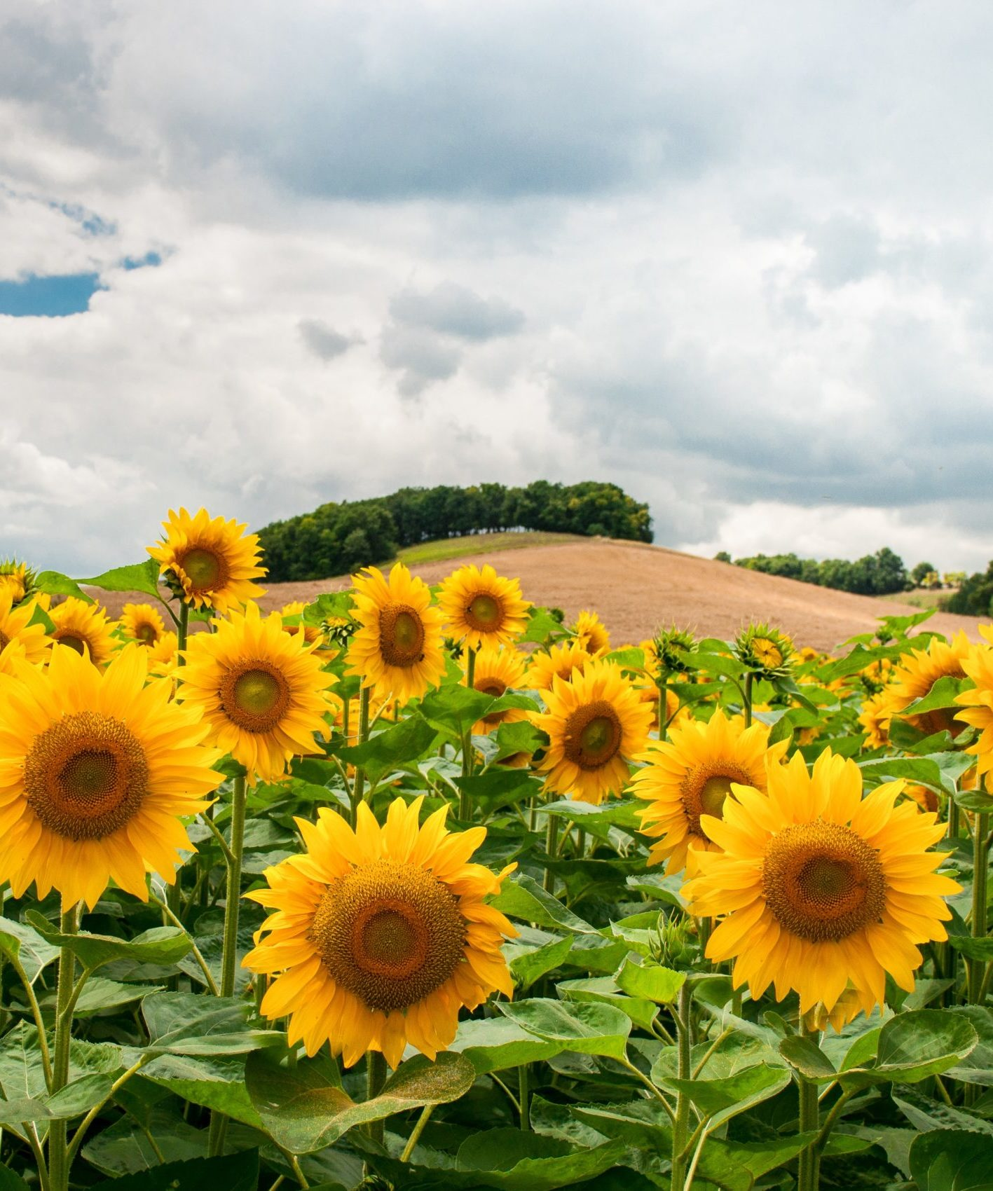 multiple sunflowers stand at the base of a cultivated hill under a fluffy white sky