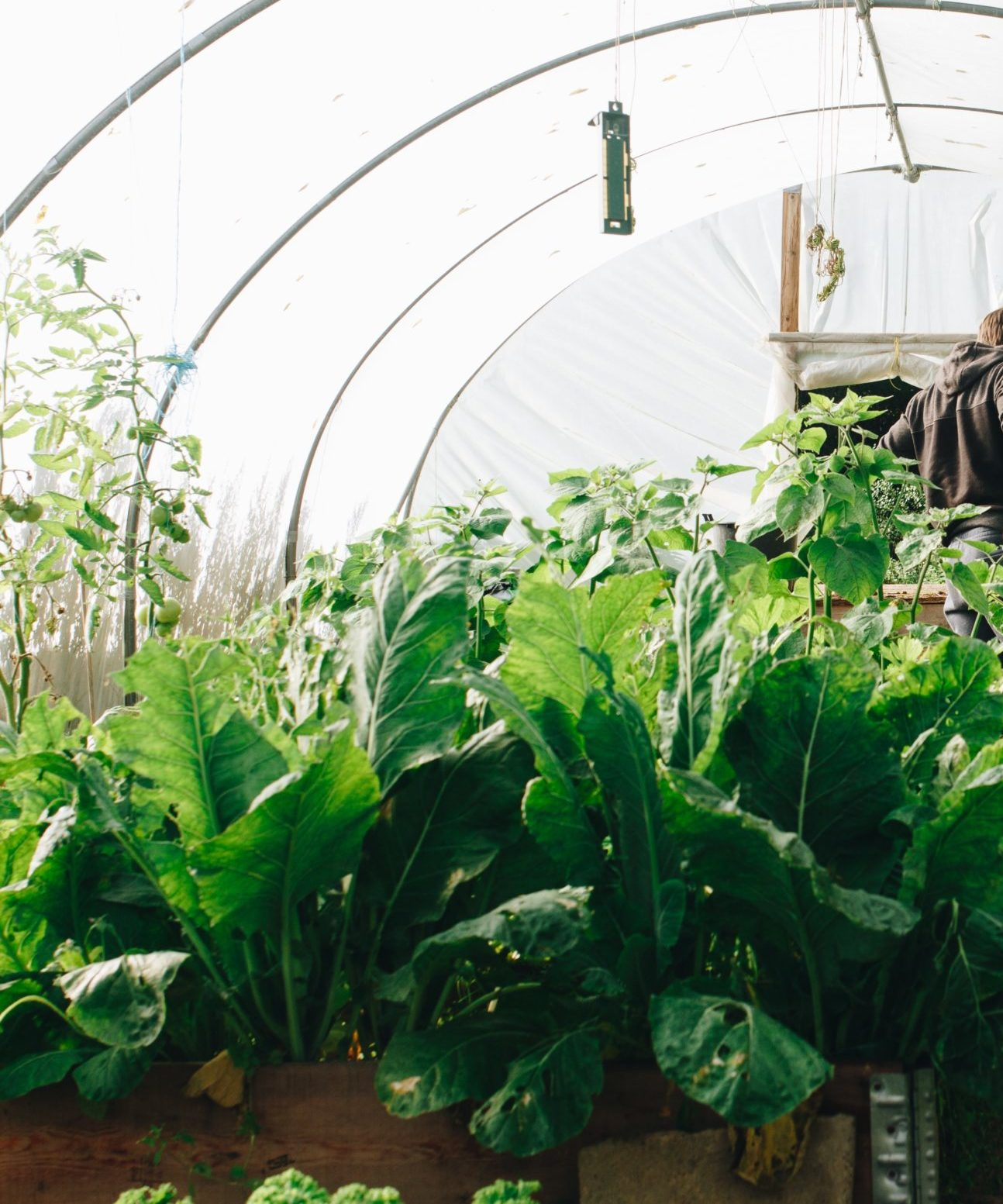 Large leafy greens grow under a high tunnel as a farmer inspects his garden