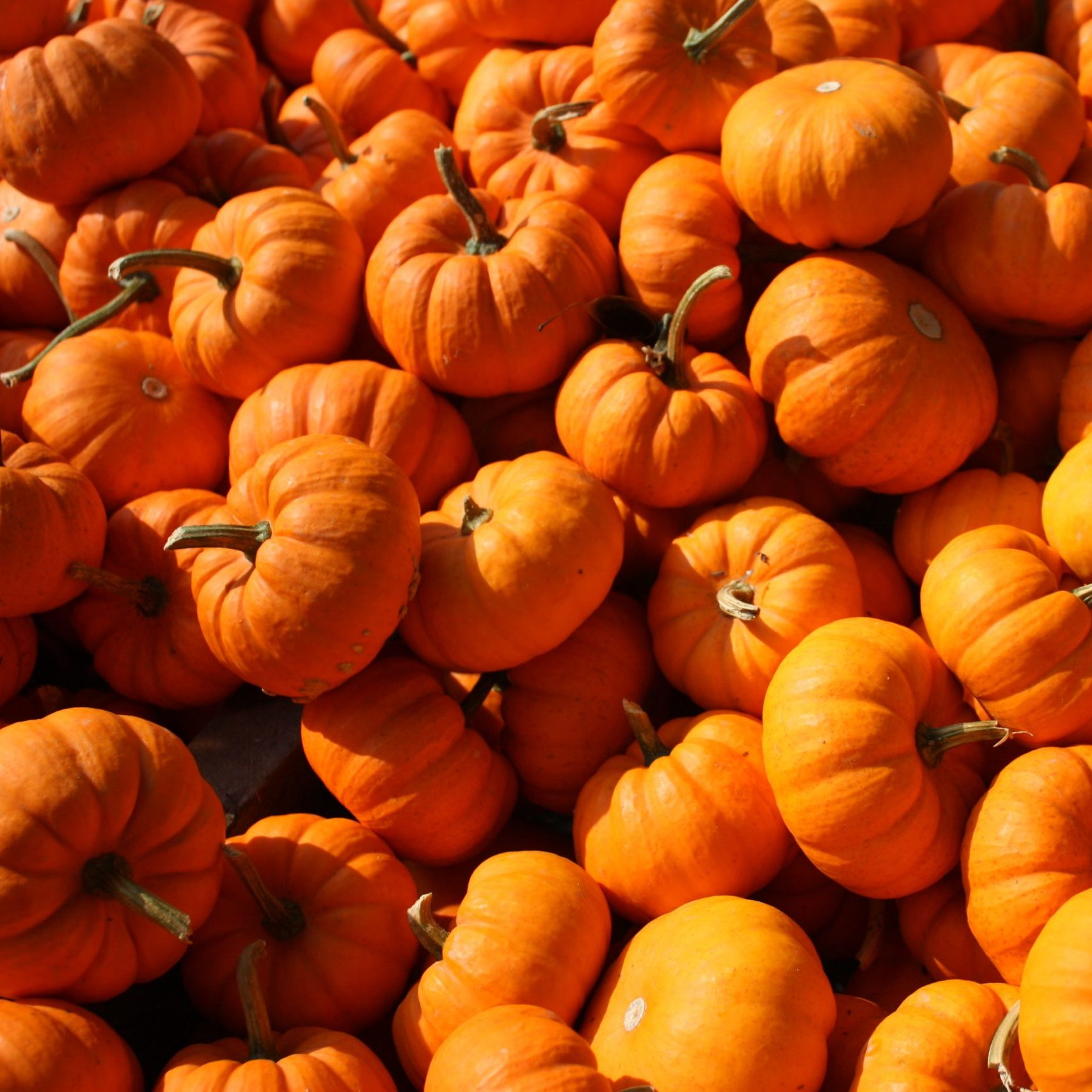a jumbled group of bright orange pumpkins in the sunlight
