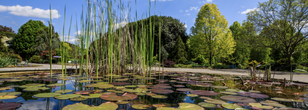 A water feature at UT Gardens with tall grasses and Lilly pads overlooks a line of green trees and blue sky