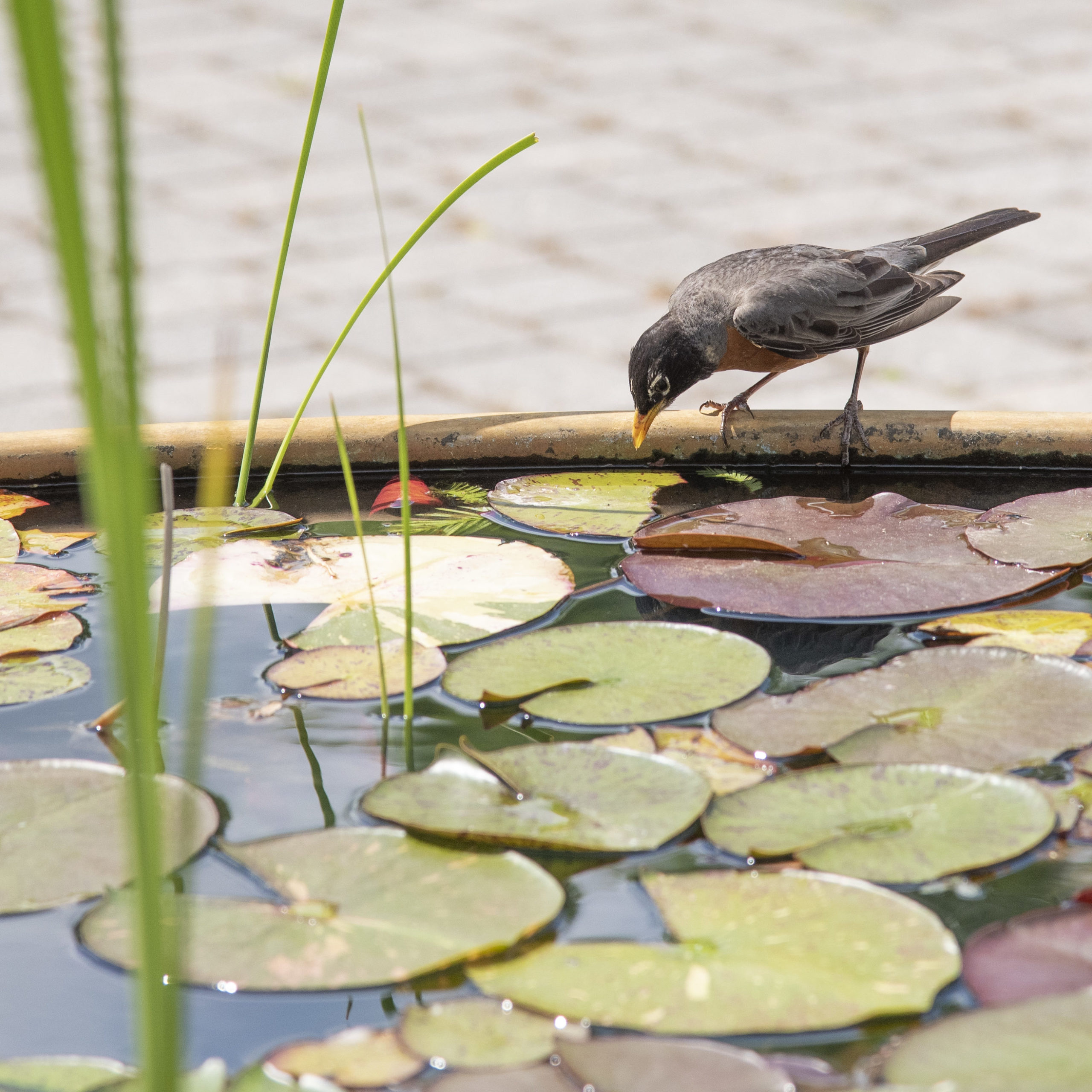 Bird sits on edge of water feature full of Lilly pads and grasses