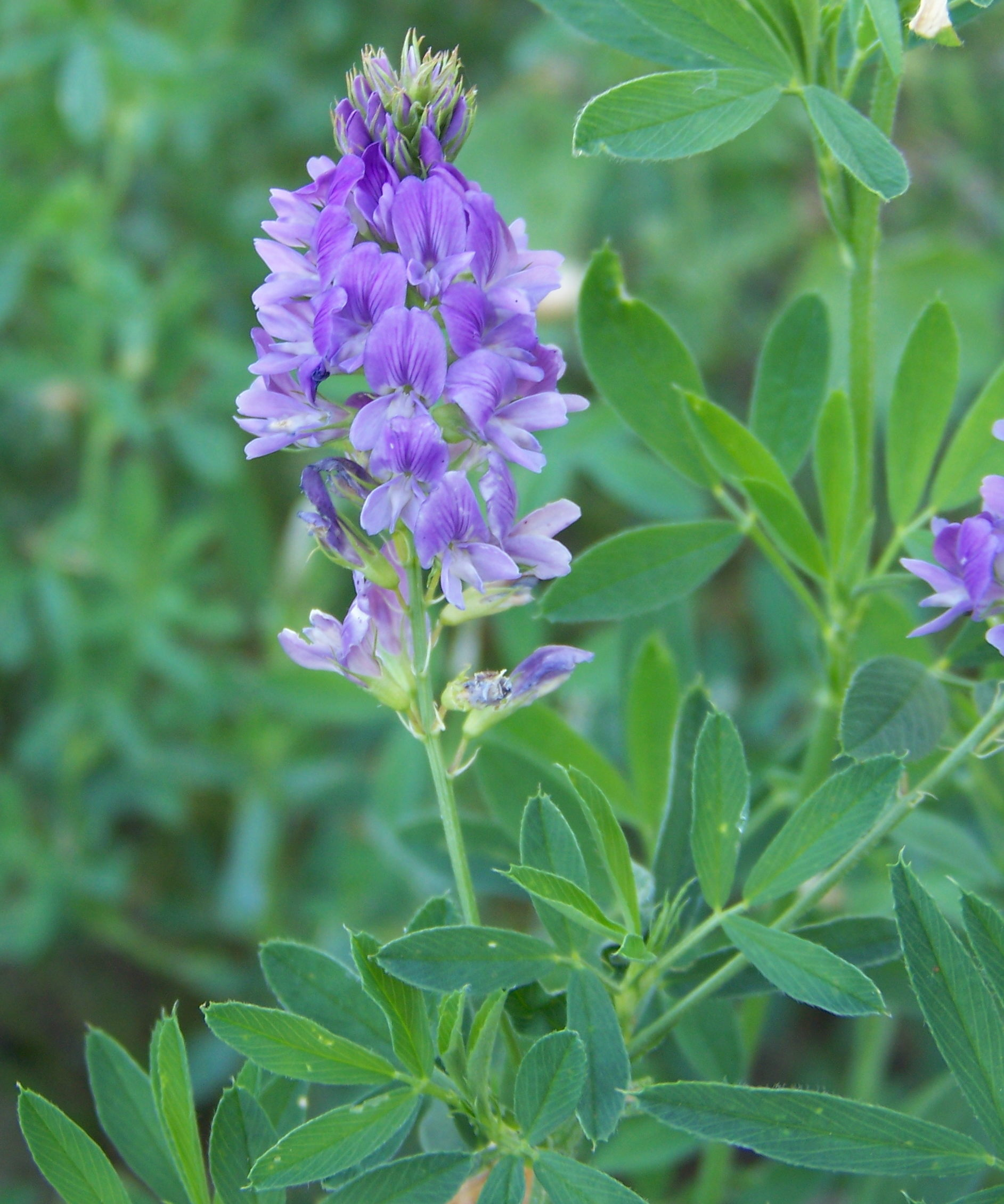 Alfalfa with purple bloom