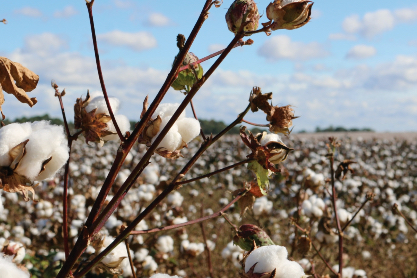 A mature cotton crop grows on the flat land of West Tennessee under a blue sky