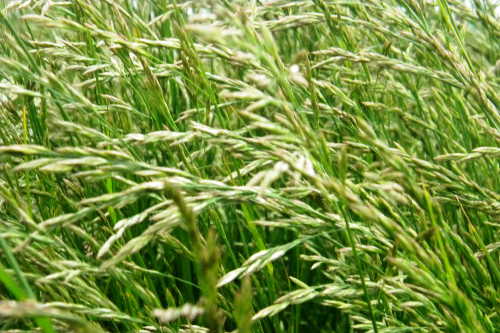 Tall fescue grass sways in the wind