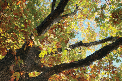looking up in the branches of a white oak with its green leaves turning orange on a sunny day with blue sky