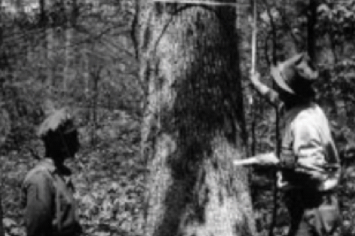 Antique black and white photo of two men examining a mature white oak for harvest