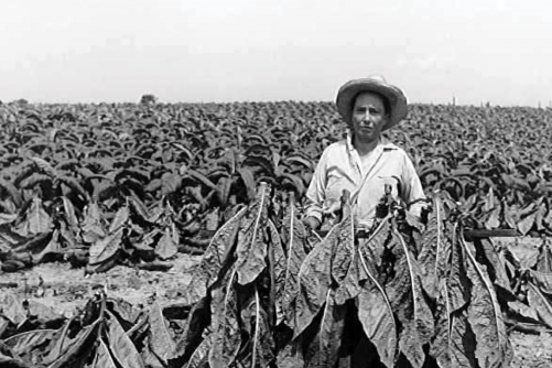A lady stands proudly in a straw hat with harvested tobacco skewered on a stick in front of a spanning unharvested tobacco field