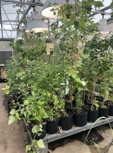 Poplar trees grow in pots on a platform under lights in a greenhouse