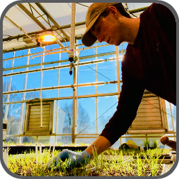 A graduate student tends trays of turfgrass in a greenhouse